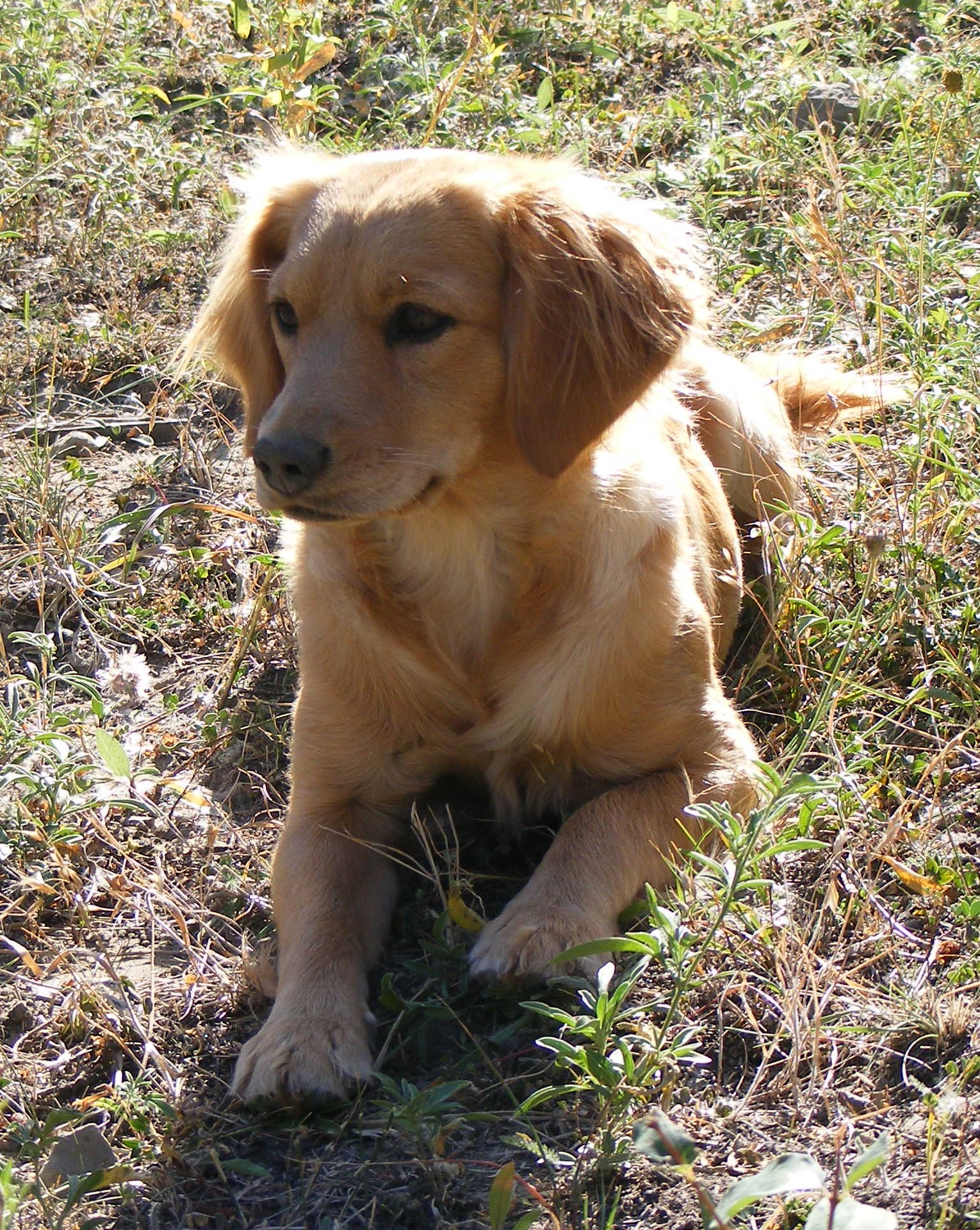 Miniature Golden Cocker Retriever Full Grown | www.imgkid ...