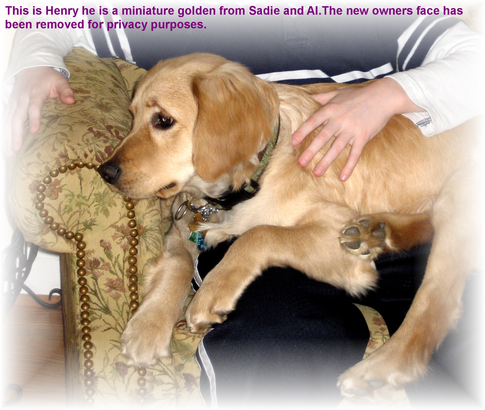 Miniature golden retriever puppies alabama