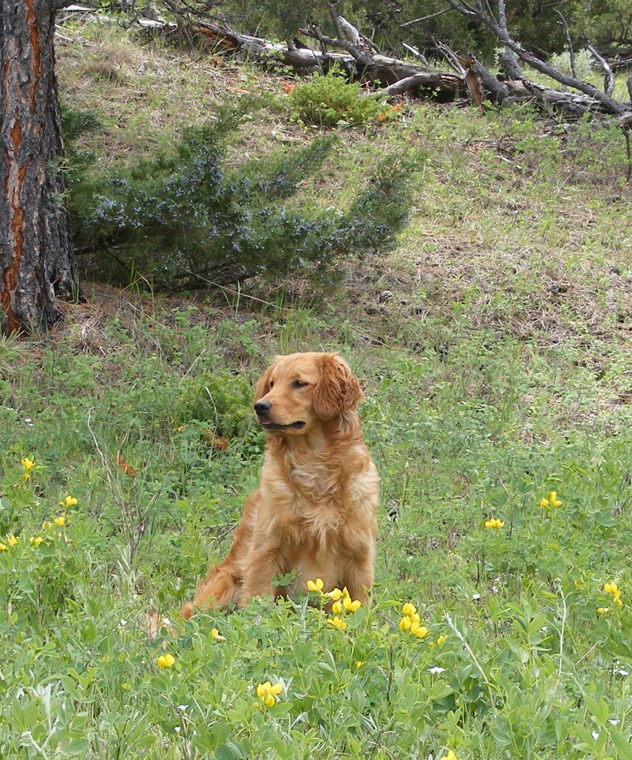 Miniature golden poodle