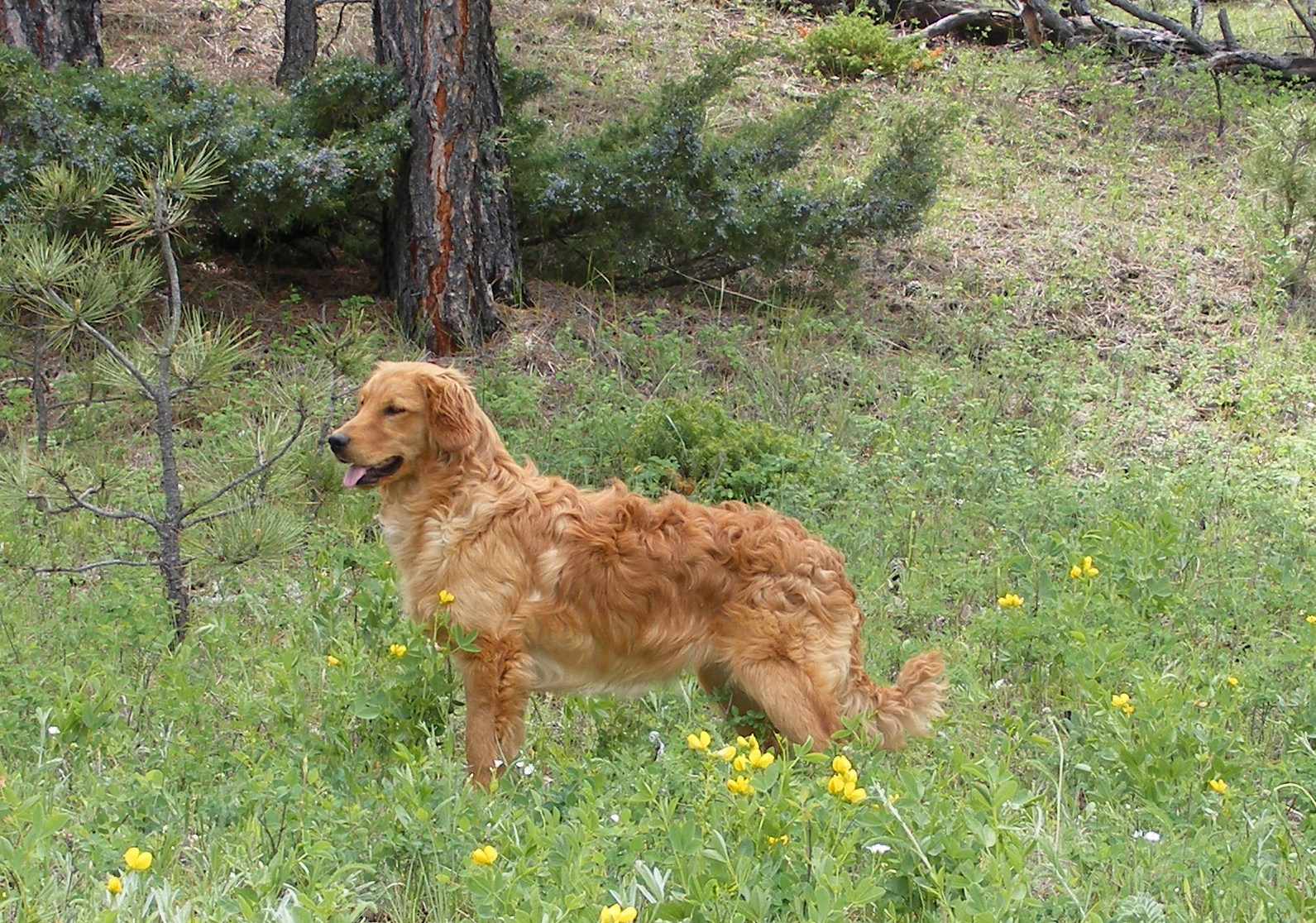 Golden retriever cocker spaniel full grown