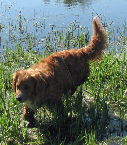 golden retriever mixed with a poodle. Sedona is a mix of Golden