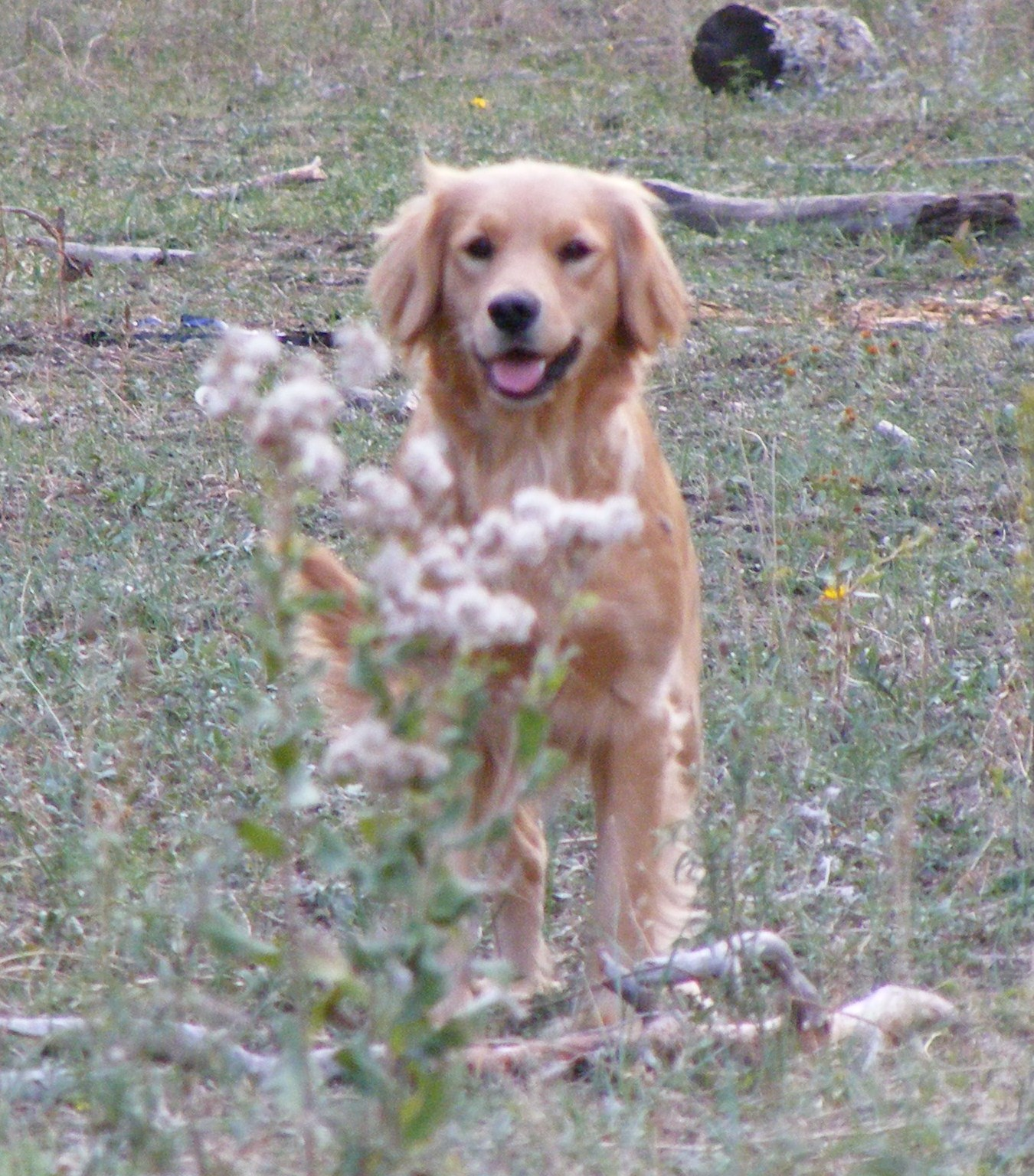 Golden Cocker Retriever Full GrownFull Grown Golden Cocker Retriever